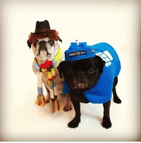 Boxing, Doctor, and Memes: POLICE Box Doctor Who Pugs