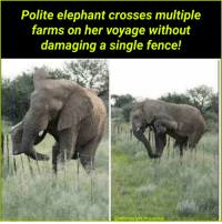 Elephant, Single, and Her: Polite elephant crosses multiple  farms on her voyage without  damaging a single fence!  @seriouslyhumourous