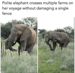 Elephant, Single, and Her: Polite elephant crosses multiple farms on  her voyage without damaging a single  fence Better than most people
