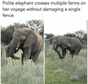 Memes, Elephant, and Single: Polite elephant crosses multiple farms on  her voyage without damaging a single  fence https://t.co/fSmnukc9Ff
