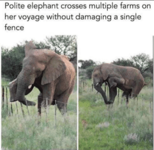 just a polite little elephant via /r/wholesomememes https://ift.tt/2TZ1V9A: Polite elephant crosses multiple farms on  her voyage without damaging a single  fence just a polite little elephant via /r/wholesomememes https://ift.tt/2TZ1V9A