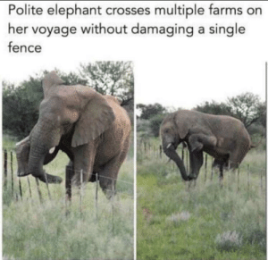srsfunny:Polite little elephant: Polite elephant crosses multiple farms on  her voyage without damaging a single  fence srsfunny:Polite little elephant
