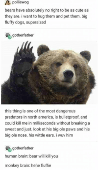 : polliewog  bears have absolutely no right to be as cute as  they are. i want to hug them and pet them. big  fluffy dogs, supersized  gotherfather  this thing is one of the most dangerous  predators in north america, is bulletproof, and  could kill me in milliseconds without breaking a  sweat and just. look at his big ole paws and his  big ole nose. his wittle ears. i wuv him  gotherfather  human brain: bear will kill you  monkey brain: hehe fluffie