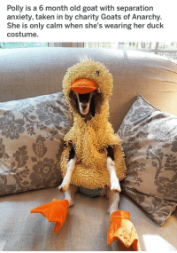 me irl: Polly is a 6 month old goat with separation  anxiety, taken in by charity Goats of Anarchy  She is only calm when she's wearing her duck  costume me irl