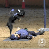 Poncho the K9 performs new style of tail-wagging CPR.  By Policía Municipal de Madrid: Poncho the K9 performs new style of tail-wagging CPR.  By Policía Municipal de Madrid