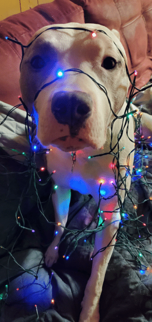 Good, Boy, and Such: Pongo the Pitty. Such a good boy. Santa's favorite little helper.