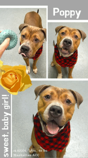 "Animals, Apparently, and Beautiful: Poppy  3  Id 62004, 3 Yrs., 48 1bs  n Manhattan ACc TO BE KILLED – 5/16/2019  A staff member writes: ""Hi! I'm Poppy! My name can be a reference to many of your favorite things, like a beautiful flower, or a poppy seed bagel. Maybe one day, I can be one of your favorite things too! My friends here at the care center know that I'm SUPER smart... I'm already learning how to 'sit' and 'down'! My other hobbies include walks, getting pet, and also modeling... I look great in photos. A home with loving people and no other dogs is what I'm looking for, are you the one for me?"" If you can foster or adopt this adorable little lady, please MESSAGE our page or email us at MustLoveDogsNYC@gmail.com for assistance.  MY MOVIE:  Poppy is in training  https://youtu.be/K4oVSsWCKnI  POPPY, ID# 62004, 3 yrs old, 48 lbs, Unaltered Female Manhattan acc, Medium Mixed Breed, Tan / White  Surrender Reason: Found Stray  Shelter Assessment Rating:  Medical Behavior Rating: 4. Orange  AT RISK MEMO: Poppy is at risk for medical reasons. Poppy was diagnosed with canine infectious respiratory disease complex which is contagious to other animals and will require in home care. Behaviorally, Poppy is quickly overstimulated and would benefit from behavior modification.   SHELTER ASSESSMENT SUMMARIES - Date of assessment:: 5/7/2019  Summary:: Leash Walking Strength and pulling: Hard Reactivity to humans: None Reactivity to dogs: Moderate Leash walking comments: froze and stared at dogs  Sociability Loose in room (15-20 seconds): Highly social Call over: Approaches readily Sociability comments: Body soft, jumps up  Handling  Soft handling: Seeks contact Exuberant handling: Seeks contact Comments: Body soft, jumps up  Arousal Jog: Engages in play, escalates Arousal comments: jumps up, leash biting intensely, very hard to refocus, mouthy  Knock: Approaches (loose) Knock Comments: Jumps up  Toy: Grips, firm Toy comments: None  PLAYGROUP NOTES - DOG TO DOG SUMMARIES: Due to arrival as a stray, behavior history around dogs is unknown. Poppy has appeared uncomfortable around other dogs in the care center. She becomes tense and attempts to avoid interaction. She has been observed to lunge toward dogs when the come within close proximity. Poppy may be most comfortable as the only resident dog.  5/6: When introduced off leash to the male greeter dog, Poppy does not approach. She appears anxious and seeks to exit the yard.  5/7: Poppy lunges and attempts to bite the helper dog through the introductory gate.  5/9: Poppy is muzzled for off leash introduction to the helper dog. She is tense, freezes, then charges toward him.  ENERGY LEVEL:: We have no history on Poppy so we cannot be certain of her behavior in a home environment. However, she is a young, enthusiastic, social dog who will need daily mental and physical activity to keep her engaged and exercised. We recommend long-lasting chews, food puzzles, and hide-and-seek games, in additional to physical exercise, to positively direct her energy and enthusiasm.   BEHAVIOR DETERMINATION:: Level 3 Behavior Asilomar: TM - Treatable-Manageable  Recommendations:: No children (under 13),Single-pet home,Recommend no dog parks Recommendations comments:: No children: Due to the level of jumping, mouthing, and escalated arousal during the running play portion of her assessment, we recommend an adult-only home.   Single pet/no dog parks: See DOG-DOG.   Potential challenges: : Basic manners/poor impulse control,Mouthiness/poor bite inhibition,On-leash reactivity/barrier frustration,Leash-biting,Strength/leash pulling,Low threshold for arousal Potential challenges comments:: Basic manners/poor impulse control: At the care center, Poppy jumps up and is mouthy with handlers. Please see handout on Basic manners/poor impulse control.  Mouthiness/poor bite inhibition: During her behavior assessment, Poppy jumped up and was mouthy with the assessor. Please see the handout on Mouthiness/poor bite inhibition.   On-leash reactivity/barrier frustration: At the care center, Poppy has displayed reactivity towards other dogs while on leash, including freezing and hard staring. She has also displayed reactivity when she is separated from another dog by a barrier. In this instance she lunged and snapped at the other dog through the fence. Please see handout on On-leash reactivity/barrier frustration.   Leash-biting: During her assessment, Poppy began jumping up and grabbing the leash in her mouth. Please see handout on Leash-biting.  Strength/leash pulling: While walking outside on leash, Poppy pulls hard on the leash. Please see handout on Strength/leash pulling.   Low threshold for arousal: During the running play portion of her behavior assessment, Poppy began jumping up, intensely leash biting, and mouthing. She was fixated during these behaviors and it was difficult to redirect her. Due to this low threshold for arousal, there is a potential for her to tip over into aggression when she becomes overaroused and can't be appropriately redirected. Please see handout on Arousal.   MEDICAL EXAM NOTES   DVM Intake Exam. Estimated age: ~2-3yrs based on PE. Microchip noted on Intake? scanned negative. placed by LVT. History : Stray  Subjective / Observed Behavior - BAR, initially loose body with tail wagging when brought into exam room. Muzzled due to low growling. P stiff, tense, tail tucked during exam. Evidence of Cruelty seen - none  Evidence of Trauma seen – none. Objective: BCS 5/9, EENT: Eyes clear, ears clean, no nasal or ocular discharge noted. Oral Exam: did not evaluate due to behavior. PLN: No enlargements noted. H/L: No murmur ausculted; CRT < 2, Lungs clear, eupnic. ABD: Non painful, no masses palpated. U/G: intact female. MSI: Ambulatory x 4, skin free of parasites, no masses noted, healthy hair coat. CNS: Mentation appropriate - no signs of neurologic abnormalities. Rectal: externally normal. Assessment: apparently healthy. Prognosis: excellent. Plan: ok for sx; recommend behavioral assessment. SURGERY: Okay for surgery  *** TO FOSTER OR ADOPT ***  HOW TO RESERVE A ""TO BE KILLED"" DOG ONLINE (only for those who can get to the shelter IN PERSON to complete the adoption process, and only for the dogs on the list NOT marked New Hope Rescue Only). Follow our Step by Step directions below!   *PLEASE NOTE – YOU MUST USE A PC OR TABLET – PHONE RESERVES WILL NOT WORK! **   STEP 1: CLICK ON THIS RESERVE LINK: https://newhope.shelterbuddy.com/Animal/List  Step 2: Go to the red menu button on the top right corner, click register and fill in your info.   Step 3: Go to your email and verify account  \ Step 4: Go back to the website, click the menu button and view available dogs   Step 5: Scroll to the animal you are interested and click reserve   STEP 6 ( MOST IMPORTANT STEP ): GO TO THE MENU AGAIN AND VIEW YOUR CART. THE ANIMAL SHOULD NOW BE IN YOUR CART!  Step 7: Fill in your credit card info and complete transaction   HOW TO FOSTER OR ADOPT IF YOU *CANNOT* GET TO THE SHELTER IN PERSON, OR IF THE DOG IS NEW HOPE RESCUE ONLY!   You must live within 3 – 4 hours of NY, NJ, PA, CT, RI, DE, MD, MA, NH, VT, ME or Norther VA.   Please PM our page for assistance. You will need to fill out applications with a New Hope Rescue Partner to foster or adopt a dog on the To Be Killed list, including those labelled Rescue Only. Hurry please, time is short, and the Rescues need time to process the applications."