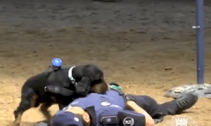 Life, Memes, and Police: positive-memes:  doggos-with-jobs:Incredible police dog bounds into action and performs CPR to 'save her handler's life' when he plays dead Good boye