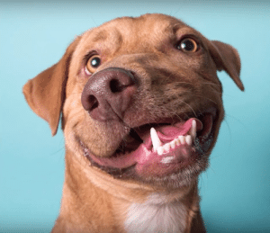 Life, Memes, and Tumblr: positive-memes:  doggos-with-jobs:Picasso was surrendered by his breeder for euthanasia because of a birth 'defect' that caused his twisted snout. Adopted by a shelter worker, he now lives a happy life as a therapy dog helping people with disabilities. He doesn't know he's different and how adorable that makes him! awww