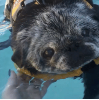 """Memes, Wow, and Monday: POSITIVE REINFORCEMENT MONDAY: tell Chubbs how great of a swimmer she is!! I'll go first: """"wow chubbs! You are such a great swimmer!!"""" . @chubbsthewampug"""