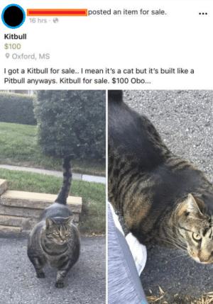 Pitbull: posted an item for sale.  16 hrse  Kitbull  $100  Oxford, MS  I got a Kitbull for sale.. I mean it's a cat but it's built like a  Pitbull anyways. Kitbull for sale. $100 Obo...