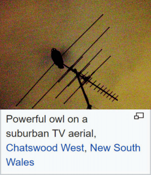 Powerful, Wales, and Suburban: Powerful owl on a  suburban TV aerial,  Chatswood West, New South  Wales