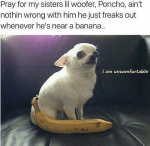 Banana, Sisters, and Him: Pray for my sisters lil woofer, Poncho, ain't  nothin wrong with him he just freaks out  whenever he's near a banana  i am uncomfortable Can't use banana for scale with him