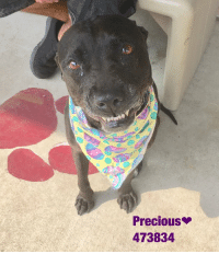 Dogs, Food, and Memes: Precious  473834 Email Placement@sanantoniopetsalive.org if you are interested in Adopting, Fostering, or Rescuing!  Our shelter is open from 11AM-7PM Mon -Fri, 11AM-5PM Sat and Sun.  Urgent Pets are at Animal Care Services/151 Campus. SAPA! is Only in Bldg 1 GO TO SAPA BLDG 1 & bring the Pet's ID! Address: 4710 Hwy. 151 San Antonio, Texas 78227 (Next Door to the San Antonio Food Bank on 151 Access Road)  **All Safe Dogs can be found in our Safe Album!** ---------------------------------------------------------------------------------------------------------- **SHORT TERM FOSTERS ARE NEEDED TO SAVE LIVES- email placement@sanantoniopetsalive.org if you are interested in being a temporary foster!!**