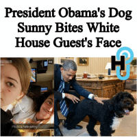 Memes, White House, and Barack Obama: President Obama's Dog  Sunny Bites White  House Guest's Face  55  hate sunny  I f HU Staff: Kecia Gayle @kecia.cecilia ••••••••••••••••••••••••••••••••••••••••••••••••• Few more days left in the White House, and Obama's dog wants to go out with a bang… On Monday, President Barack Obama's female Portuguese Water Dog Sunny attacked a family friend who was visiting the White House. The 18-year-old girl bent down and tried to kiss the dog, but received something other than a kiss: a bite mark on her face! Read more at thehollywoodunlocked.com