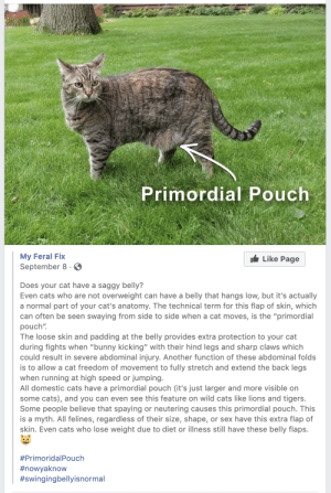 "Cats, Sex, and Lions: Primordial Pouch  My Feral Fix  Like Page  September 8  Does your cat have a saggy belly?  Even cats who are not overweight can have a belly that hangs low, but it's actually  a normal part of your cat's anatomy. The technical term for this flap of skin, which  can often be seen swaying from side to side when a cat moves, is the ""primordial  pouch""  The loose skin and padding at the belly provides extra protection to your cat  during fights when ""bunny kicking"" with their hind legs and sharp claws which  could result in severe abdominal injury. Another function of these abdominal folds  is to allow a cat freedom of movement to fully stretch and extend the back legs  when running at high speed or jumping.  All domestic cats have a primordial pouch (it's just larger and more visible on  some cats), and you can even see this feature on wild cats like lions and tigers.  Some people believe that spaying or neutering causes this primordial pouch. This  is a myth. All felines, regardless of their size, shape, or sex have this extra flap of  skin. Even cats who lose weight due to diet or illness still have these belly flaps.  meow irl"