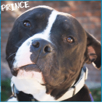 Children, Dogs, and Family: PRINCE Prince has been waiting for his perfect match! If you think that could be you, please go to his page at https://goo.gl/bor4b5 to learn more about him or if interested in making him your newest family member.   KENNEL SPONSORED BY: Nick, Gabrielle, and Hailey. Max, Rosie, Onyx, and Roger❤️  Our sweet, extremely handsome #Prince is patiently waiting for his furever home. He is about 3 years old and although he can be shy at first, he is great with people once he warms up and is extremely loyal to his humans. Once you have his trust, he is your friend for life.   Prince enjoys playing with his bone and going on walks, but would also enjoy snuggling up on the couch with a furever family. He enjoys the company of others dogs, would do best with children over 12. He is such a happy goofball!!   If you are interested in adopting our big boy Prince, please fill out an application today!!