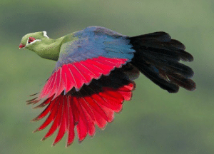 Prince Ruspoli's turaco (Tauraco ruspolii) is found in the dense evergreen juniper forests of Sidamo and Bale provinces in southern Ethiopia where it feeds on figs and berries. It lives in a very narrow ecological range making the species vulnerable to environmental degradation and habitat loss.: Prince Ruspoli's turaco (Tauraco ruspolii) is found in the dense evergreen juniper forests of Sidamo and Bale provinces in southern Ethiopia where it feeds on figs and berries. It lives in a very narrow ecological range making the species vulnerable to environmental degradation and habitat loss.