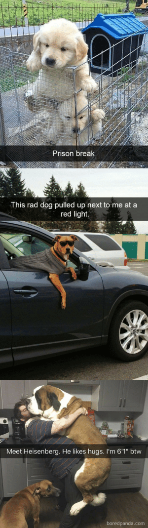 """Target, Tumblr, and Prison: Prison break   This rad dog pulled up next to me at a  red light.   Meet Heisenberg. He likes hugs. I'm 6'1"""" btw  boredpanda.com  DICED animalsnaps:Animal snaps"""