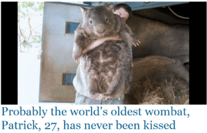 monicalewinsky1996:  that is an outrage : Probably the world's oldest wombat,  Patrick, 27, has never been kissed monicalewinsky1996:  that is an outrage