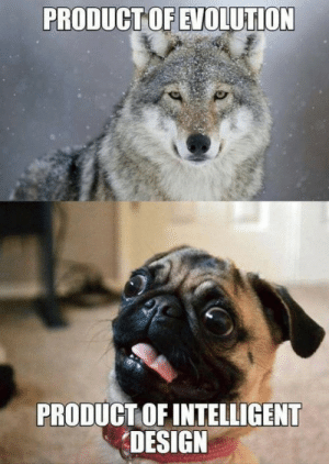 lolshtus:  Evolution Vs. Intelligent Design   But pugs are beautiful. In their own squishy, derpy way.: PRODUCT OF EVOLUTION  PRODUCT OF INTELLIGENT  DESIGN lolshtus:  Evolution Vs. Intelligent Design   But pugs are beautiful. In their own squishy, derpy way.