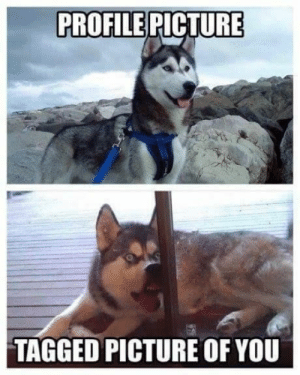 Animals, Funny, and Memes: PROFILE PICTURE  TAGGED PICTURE OF YOU 50+ Funny Husky Memes That Will Keep You Laughing For Hours #husky #huskymemes #dogmemes #memes #funnymemes - Lovely Animals World