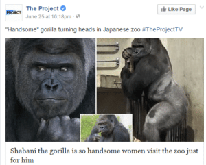 """Women, Japanese, and Page: PROIECT The Project  Like Page  June 25 at 10:18pm  """"Handsome"""" gorilla turning heads in Japanese zoo #TheProjectTV  Shabani the gorilla is so handsome women visit the zoo just  for him"""