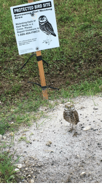Crime, Information, and Com: PROTECTED BIRD SITE  Burrowing Owl Nesting  Area  Molesting Owls or  their Nests is a  Crime. Please  Report Violations to  1-888-404-FWCC  For information about  Burrowing Owls  MyFWC com This owl next to his sign