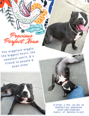"A Dream, Bones, and Butt: Prrecious  Perfect Rena  The wiggliest wiggle,  the biggest heart, the  sweetest spirit, & a  friend to people &  pups alike  ID 67591, 3 YRS., 50 LBS. OF  PERFECTION, DREAMING  OFOF HER FOREVER  FAMILY. AT BROOKLYN ACC INTAKE DATE – 6/29/2019   Sweet, perfect, spectacular LEVEL 1 rated XENA is out of ACC Foster and back at the shelter.  ☹  We can't imagine how her foster could have parted with so perfect a pup, or that sweet Xena is back in a windowless cage after she enjoyed living with a family and another dog she loved.  Will you whisk her to safety?  She's hands down a dream dog!    As Xenas foster says: """"She's got the wiggliest wiggle I've ever seen on a pup, and she shakes her little butt like crazy whenever she's happy, which is most of the time she's with her friends, human or canine! She's like a compass that is always pointing at you, following you all around, climbing into your lap, licking your face, walking all over you and wiggling her skinny little butt right into your lap. So social, she's the life of the dog party, jumping all around her favorite dog friends with real enthusiasm. She plays awkward and rough with a completely good nature and a very wiggly butt! She is exquisite off leash, and comes when you call her, as long as you're offering a nice treat. She's fully treat-trained, so her ideal human might get used to wearing a fanny pack full of her favorite nibbly snacks! She loves her resident dog companion, a big male pittie named Bruno, and plays with him and snuggles with him and climbs all over him as much as he can handle. She's got real puppy energy, and a playful, fun attitude, so she seems younger than her three years. When she's not playing or eating, she is snuggling up to you, begging to stay by your side, on the couch, in the bed, wherever. She walks beautifully off leash in the park, on the trails, keeping pace with her dog companion. She pulls a little on a regular collar but doesn't pull at all on a harness, so we've been using a harness instead. As her foster parents, we are hoping she will find a safe, loving home, possibly with another dog in attendance, with people who are committed to force-free, reward-based training methods. We love her and she deserves a nice home with a healthy routine and lots of nice snacks. She loves marrow bones, fish skins, zukes mini naturals training treats, meat cubes, and high quality crunchies. She's our love and maybe someday she can be yours!""   Message our page or email us at MustLoveDogsNYC@gmail.com for assistance fostering or adopting Xena.  XENA, ID# 67591, 3 yrs old, 50.4 lbs, Unaltered Female Brooklyn ACC, Large Mixed Breed Cross, Black / White    Owner Surrender Reason: Shelter Assessment Rating:  LEVEL 1 Medical Behavior Rating:  1. Green    SHELTER ASSESSMENT SUMMARIES:   Leash Walking Strength and pulling: Mild Reactivity to humans: None  Reactivity to dogs: None  Leash walking comments:  Sociability Loose in room (15-20 seconds): Highly social, loose Call over: Approaches readily Sociability comments:   Handling  Soft handling: Seeks contact, loose Exuberant handling: Seeks contact, loose Handling comments:  Arousal Jog: Follows, loose, bounces Arousal comments:   Knock Knock Comments: No response  Toy Toy comments: Firm grip, loose  PLAYGROUP NOTES - DOG TO DOG SUMMARIES:  Xena was surrender as a stray so her past behavior with other dogs is unknown.  6/30: When off leash at the Care Centers, Xena is introduced to a novel male dog. She greets the male with a wiggly body and solicits play with play bows and bounces. Xena self-handicaps when the male persistently licks her genitals.   7/1-7/2: Xena is introduced to a novel male dog today. She greets the male with a loose and wiggly body. She is persistent with muzzle licks and follows the male around the yard pushing her face into his. She engages in bouncy chase play.  INTAKE BEHAVIOR: Date of intake: 29-Jun-2019 Summary: Fearful then warms up  MEDICAL BEHAVIOR: Date of initial: 30-Jun-2019 Summary: Loose, wagging, tail tucked upon examination, allowed handling  ENERGY LEVEL: Xena displays a medium to high energy level in the care center. We recommend daily mental and physical stimulation as a way to direct her energy level and enthusiasm.  BEHAVIOR DETERMINATION: Level 1 Behavior Asilomar H – Healthy  MEDICAL EXAM NOTES   30-Jun-2019 DVM Intake Exam.  Estimated age: 3 years.  Microchip noted on Intake? No.  Microchip Number (If Applicable): N/A.  History: Stray.  Subjective: BARH, no coughing/sneezing/vomiting/diarrhea.  Observed behavior: Loose body language, wagging tail. Some whale eye and tucked tail for exam, otherwise soliciting pets.  Evidence of cruelty seen: No.  Evidence of trauma seen: No.  Objective:  P: WNL, R: WNL, BCS: 5/9.  OP: Mucous membranes pink and moist. CRT <2. Stage II dental disease.  EENT: Eyes, ears, and nares clear bilaterally, no discharge noted.  PLN: Small/soft/symmetrical/nonpainful.  CV: No murmurs or arrhythmias, pulses strong and synchronous.  RESP: Eupneic, no crackles/wheezes.  GI: Soft, nonpainful, no palpable masses.  UG: female intact, no mammary gland tumors noted, no discharge.  INT: Good hair coat, no areas of alopecia or pruritus, no ectoparasites or masses noted.  MS: Ambulatory x4, no pain on palpation of epaxials.  NEURO: Mentation appropriate, cranial nerves intact, no deficits noted.  Assessment:  -Stage II dental disease.  Prognosis:  Good.  Plan:  -Spay.  Surgery:  Okay for surgery  *** TO FOSTER OR ADOPT ***   If you would like to adopt a NYC ACC dog, and can get to the shelter in person to complete the adoption process, you can contact the shelter directly. We have provided the Brooklyn, Staten Island and Manhattan information below. Adoption hours at these facilities is Noon – 8:00 p.m. (6:30 on weekends)  If you CANNOT get to the shelter in person and you want to FOSTER OR ADOPT a NYC ACC Dog, you can PRIVATE MESSAGE our Must Love Dogs page for assistance. PLEASE NOTE: You MUST live in NY, NJ, PA, CT, RI, DE, MD, MA, NH, VT, ME or Northern VA. You will need to fill out applications with a New Hope Rescue Partner to foster or adopt a NYC ACC dog. Transport is available if you live within the prescribed range of states.  Shelter contact information: Phone number (212) 788-4000 Email adopt@nycacc.org  Shelter Addresses: Brooklyn Shelter: 2336 Linden Boulevard Brooklyn, NY 11208 Manhattan Shelter: 326 East 110 St. New York, NY 10029 Staten Island Shelter: 3139 Veterans Road West Staten Island, NY 10309  *** NEW NYC ACC RATING SYSTEM ***  Level 1 Dogs with Level 1 determinations are suitable for the majority of homes. These dogs are not displaying concerning behaviors in shelter, and the owner surrender profile (where available) is positive.   Level 2  Dogs with Level 2 determinations will be suitable for adopters with some previous dog experience. They will have displayed behavior in the shelter (or have owner reported behavior) that requires some training, or is simply not suitable for an adopter with minimal experience.   Level 3 Dogs with Level 3 determinations will need to go to homes with experienced adopters, and the ACC strongly suggest that the adopter have prior experience with the challenges described and/or an understanding of the challenge and how to manage it safely in a home environment. In many cases, a trainer will be needed to manage and work on the behaviors safely in a home environment."