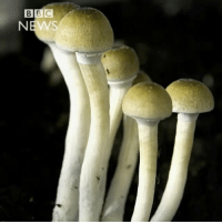 """Jail, Memes, and Old Woman: """"Psilocybin mushrooms, also known as """"magic"""" mushrooms, are banned in many countries around the world due to their hallucinogenic qualities. But one 72-year-old-woman in SouthAfrica is fighting through the courts to legalise their use for spiritual ceremonies. Monica Cromhout faces a possible jail sentence for dealing in illegal substances."""" Thoughts? 🇿🇦🍄🤔 @BBCNews WSHH"""