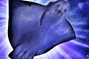 psychedelic-freak-out: vodka-and-fedoras:   that-flighty-temptress-adventure:  I took this picture of a sting ray at the aquarium while I was in San Francisco. I didn't check the picture until later, but somehow the lighting there made it look like the sting ray is… I dunno. floating in space? ascending to heaven? it's weird.  and I love it.  It looks like something that should be airbrushed on the side of a hippy van next to some kind of star wizard on a mountain and like 9 wolves   This is so majestic : psychedelic-freak-out: vodka-and-fedoras:   that-flighty-temptress-adventure:  I took this picture of a sting ray at the aquarium while I was in San Francisco. I didn't check the picture until later, but somehow the lighting there made it look like the sting ray is… I dunno. floating in space? ascending to heaven? it's weird.  and I love it.  It looks like something that should be airbrushed on the side of a hippy van next to some kind of star wizard on a mountain and like 9 wolves   This is so majestic