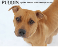 Dogs, Memes, and Puppies: PUDDIN 2 years Female Mixed Bred Cmedtum All dogs/puppies in our shelter can be viewed here.  Any dog not being held as a stray is available for immediate, same-day adoption! Adoption applications are reviewed on site. Please share our dogs and help get them out of the shelter as quickly as possible!  **PLEASE NOTE**  Placing an application on a dog featured in this album does NOT hold the dog for you.  All available dogs are available to be met and adopted same day if already altered.  If not altered, the dog can be met and paid for in order to hold the dog for you.  Thank you for your understanding!