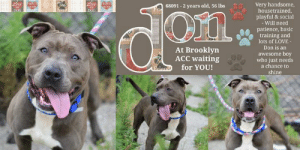 Being Alone, Animals, and Apparently: Pue  PRINTS  PRINTS  Very handsome,  housetrained,  playful & social  - Will need  68091-2 years old, 56 lbs  Frieud  DOG  DOG UAR  AR  patience, basic  training and  lots of LOVE-  Don is an  enc  At Brooklyn  ACC waiting  for YOU!  awesome boy  who just needs  a chance to  shine  Friend TO Be Killed 7/16/19 in NYC   A SMILE LIKE NO OTHER IS WHAT GETS DON NOTICED OVER AND OVER <3 Bestowed with classically handsome looks, and an athletic build, Don is a sharp looking doggie with a heart filled with joy and excitement. Volunteers relish the time spent with him and his video captures him in full on play. Upon intake he impressed everyone with his soft bodied posture, allowing all handling and attention seeking desire. Don is a young, mid sized doggie who lived and enjoyed a home with another mid sized dog. He enjoys playtime and activity, as most young doggies do. Don passed his behavior assessment with flying colors, and captured the hearts of many staff along the way. He is often found with a gigantic smile with his tongue rolling out to the side. He deserves a home where he can play and interact the way doggies are supposed to, Don has a lot of love to offer, his heart is open and innocent.  A SHELTER STAFF MEMBER WRITES: I LOVE DON <3 Sure when you first meet him his energy is explosive and it is contagious !!! Its like you cant help but to be hyper with him and jump all over the place with him. He will have you throwing tennis balls and foot balls all over the place and before you know it you're running around with him. Once you guys settle down he will gladly accept all rubbies and scratchies because he is a very good boy who deserves all the love this world has to offer.   DON@BROOKLYN ACC Hello, my name is Don My animal id is #68091 I am a male brown dog at the  Brooklyn Animal Care Center The shelter thinks I am about 2 years old, 56 lbs Came into shelter as owner surrender 7/5/2019 Reason Stated: Animal Behavior - FEARFU