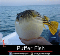 Memes, 🤖, and Puffer Fish: Puffer Fish  Of /didyouknowpagel  Cu  @didyouknowpage