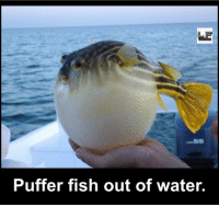 Memes, 🤖, and Puffer Fish: Puffer fish out of water.