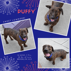 Apparently, Cats, and Children: PUFFY  SWEET LOWRIDER  H64343, 3 Yrs..  39 Ibs. of Love  BROOKLYN ACC  de INTAKE DATE – 6/19/2019  She was only with her adoptive family for 2 weeks, but get this – Puffy lived with 11 adults, 4 kids and 3 cats! Can you imagine?  But because they cited she was a stray, there is limited history of her life before them.  And some of the notes are frankly confusing because they stated her behavior around cats is unknown, but she lived with cats.  We have to assume all was fine, but now this incredibly shy, sweet lowrider is in need of a new family to love her forever. How can you resist?  She appears to be a cross between a pitbull and a daschund, but its anyone's guess.  All we know, is she is adorable, and you should rush to foster or adopt her and make her your own.  Due to her shyness, she is rated Rescue Only and will need an experienced foster or adopter in a home with no children under Age 13.  Message our page or email us at MustLoveDogsNYC@gmail.com for assistance fostering or adopting Puffy.  PUFFY, ID# 64343, 3 yrs. old, 39 lbs, Unaltered Female Brooklyn ACC, Medium Mixed Breed, Brown Brindle Surrendered by finder with limited history (spent 2 weeks with the finder)Shelter Assessment Rating: NEW HOPE ONLY NLY (due to remaining fearful in the shelter)No children (under 13)Medical Behavior Rating:  INTAKE PROFILE - BASIC INFORMATION:  Puffy is about 3 years old and was surrendered as a stray. She has not been to the vet as of yet and has no apparent medical concerns. She previously lived with 4 kids, 3 cats and 11 adults. Puffy is shy for a minutes and will sniff you when approached. She will possibly bark at you but will also let you pet her and even give her treats. Puffy is a little playful with they kids. She will run around the home with them while they are holding a toy for her. She is tolerant of then and allows them to pet her. Puffy's behavior around dogs and cats is unknown. Puffy does not resource guard. Puffy has no 