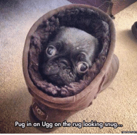 Here's your daily dose of cuteness :): Pug In an  Ugg on the rug looking snugbo  Memes Com Here's your daily dose of cuteness :)