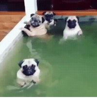 Pug Pool Party: Pug Pool Party