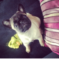 Pug puppy just heard a bag of chips being opened..: Pug puppy just heard a bag of chips being opened..