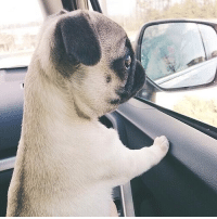 Pug puppy, pining for an escape.: Pug puppy, pining for an escape.