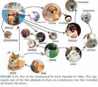 Doge, Drawings, and Philosophy: PUGGERINO  SH00BERINO  LONGO DOGG0  PUPPERINO  PUPPER  DOGGO  A  DOGGEST  DOGGERINO  PUGGO  CORGO  DOGGOR  SHIBER  SH00BER  JW  SHIBE  SH00B  DOGE  DOG  FIGURE 5.14. Tree of life constructed by Ernst Haeckel in 1866. This rep-  resents one of the first attempts to draw an evolutionary tree that included  all known life-forms. FACT: PHILOSOPHER'S OF BIOLOGY ARE THE MOST POWERFUL RACE IN THE WORLD