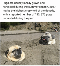 Facts, Memes, and Summer: Pugs are usually locally grown and  harvested during the summer season. 2017  marks the highest crop yield of the decade  with a reported number of 133, 870 pugs  harvested during the year. Some facts. | Follow @aranjevi for more!