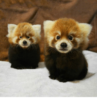 Pumori and Rohan, 3-month-old red panda babies. I'll take them both please: Pumori and Rohan, 3-month-old red panda babies. I'll take them both please