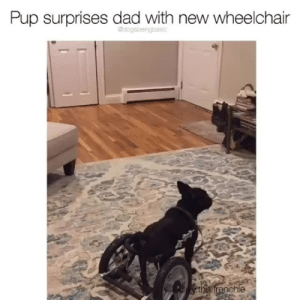 Dad, Instagram, and Target: Pup surprises dad with new wheelchair  the frenchie This. Is. What. We. Live. For. *VOLUME*Pup @ivy.the.frenchie