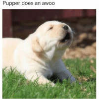 Memes, 🤖, and Awoo: Pupper does an awoo