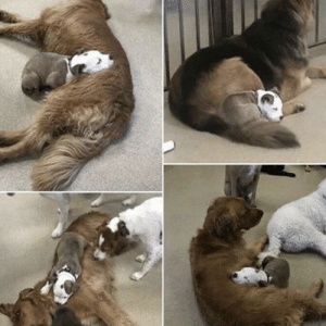 Pupper finds the fluffiest dogs in daycare, so she can nap on them.: Pupper finds the fluffiest dogs in daycare, so she can nap on them.