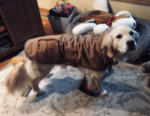 Pupper ready to go be a show off at the dog park in her new jacket: Pupper ready to go be a show off at the dog park in her new jacket