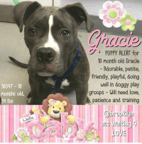 Anaconda, Children, and Click: PUPPY ALERT for  10 month old Gracie  Adorable, petite,  friendly, playful, doing  well in doggy play  groups - Will need love,  patience and training  30397 10  months old  39 Ibs  @brooklyn  ace aiting  LOVE  lo **** TO BE KILLED - 6/19/2018 ****  PUPPY ALERT FOR 10 MONTH OLD GRACIE, an adorable little gray girl dumped at the Brooklyn shelter as a stray. Gracie's just a baby so she's going to need lots of love, patience and training. As are most dogs who have been abandoned by their family, Gracie is initially nervous at the shelter but she's warming up nicely, making friends and acclimating to doggy play groups, socializing and just plain o' having fun. Gracie's time is up at the shelter and they have added her to the euth list. She will be killed if no one can offer her the home, love and companionship she will need to be successful. Don't think they won't kill Gracie because she's a puppy because they will. Please run, don't walk, to the shelter and ask for Gracie. She needs a hero ASAP.   GRACIE@BROOKLYN ACC Hello, my name is Gracie My animal id is #30397 I am a female gray brindle dog at the  Brooklyn Animal Care Center The shelter thinks I am about 10 months old, 39 lbs  Came into shelter as a stray June 5, 2018  Gracie is at risk due to being diagnosed with Canine Infectious Respiratory Disease Complex, which is contagious to other dogs. She will likely require in home rest with a course of antibiotics. We recommend she go to an experienced dog home that will allow a slow approach as she can be a bit intimidated by new situations.  My medical notes are... Weight: 39.4 lbs L V T Notes Vet Notes 8/06/2018 [LVT Intake Exam] Microchip Scan:Negative Evidence of Cruelty:none Observed Behavior: Little nervous, tense but tolerated handling Sex: Female intact Estimated Age: 10mths Subjective: describe how he animal is presenting and any known history-- Came in as a stray,no known medical history. Eyes: clear Ears: clean Oral Exam: wnl 
