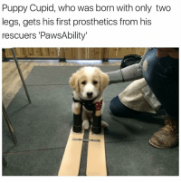 My heart 😢❤: Puppy Cupid, who was born with only two  legs, gets his first prosthetics from his  rescuers PawsAbility' My heart 😢❤