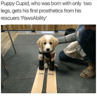 Follow my other accounts @antisocialtv @lola_the_ladypug @x__antisocial_butterfly__x ❤️: Puppy Cupid, who was born with only two  legs, gets his first prosthetics from his  rescuers 'PawsAbility Follow my other accounts @antisocialtv @lola_the_ladypug @x__antisocial_butterfly__x ❤️